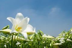 Giglio bianco selvatico nell'ambito di luce solare Immagini Stock Libere da Diritti