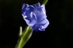 Giglio blu dell'erba Immagini Stock Libere da Diritti