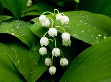 Giglio dei fiori della valle Fotografia Stock