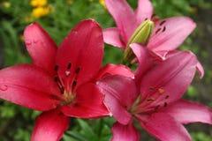 Giglio del fiore Fotografie Stock