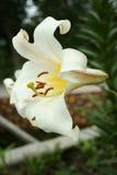 Giglio del fiore Immagine Stock
