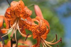 Giglio del fiore in giardino floreale acceso da luce solare Fotografie Stock