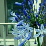 Giglio del Nilo & di x28; agapanthus& x29; fiori Fotografia Stock Libera da Diritti