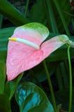 Giglio dell'anturio di colore rosa pastello Fotografia Stock Libera da Diritti