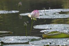 Giglio di acqua Fotografie Stock