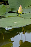 Giglio di acqua Fotografia Stock