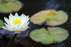 Giglio di acqua fotografia stock libera da diritti