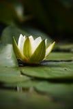 Giglio di acqua bianca Fotografie Stock