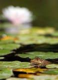 Giglio di acqua con una rana Fotografie Stock