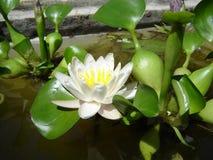 Giglio di acqua del loto Fotografie Stock