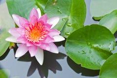 Giglio di acqua o fiore di loto che galleggia sullo stagno fotografia stock libera da diritti