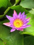 Giglio di acqua viola Fotografie Stock