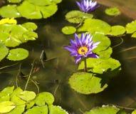 Giglio di acqua viola Fotografia Stock Libera da Diritti