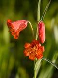 Giglio di Bolanders - Wildflowers dell'Oregon Immagini Stock Libere da Diritti