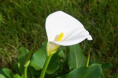 Giglio di calla bianco fotografia stock libera da diritti