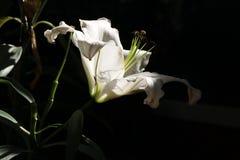 Giglio di calla bianco fotografie stock libere da diritti