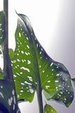 Giglio di calla dorato a forma di del cuore Fotografie Stock