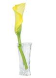 Giglio di Callas giallo in un vaso di fiore isolato fotografie stock libere da diritti