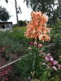 Giglio di fioritura di estate immagini stock libere da diritti