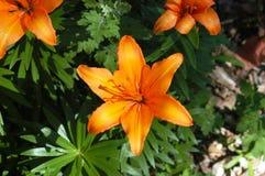 Giglio di giorno arancione Fotografia Stock Libera da Diritti