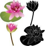 Giglio di Lotus Fotografia Stock Libera da Diritti