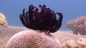 Giglio di Mar Rosso in chiara acqua blu in oceano di fauna selvatica Filippine archivi video
