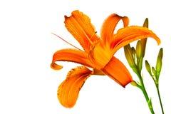 Giglio di tigre arancione Fotografie Stock