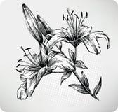 Giglio di tigre di fioritura royalty illustrazione gratis