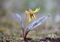 Giglio di trota giallo (americanum del Erythronium) immagine stock libera da diritti