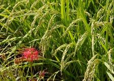 Giglio e riso del ragno rosso Fotografia Stock Libera da Diritti