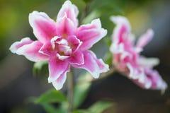 giglio Fiori luminosi di estate nel giardino fertile Carta della primavera per Fotografia Stock Libera da Diritti
