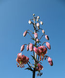 Giglio florido (martagon) del Lilium, la famiglia Liliacea Fotografia Stock Libera da Diritti