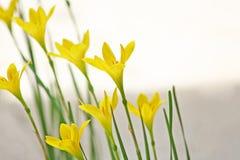 Giglio giallo della pioggia, zephyranthes grandiflora fotografia stock
