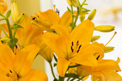 Giglio giallo nel giardino Fotografia Stock