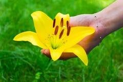 Giglio giallo nella mano della ragazza sui precedenti di erba fotografia stock libera da diritti