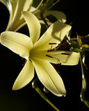 Giglio giallo su fondo scuro Immagine Stock Libera da Diritti
