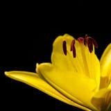 Giglio giallo su una priorità bassa nera Immagini Stock Libere da Diritti