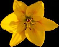 Giglio giallo su una priorità bassa nera Fotografie Stock