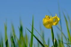 Giglio giallo sul prato costiero in Estonia fotografie stock