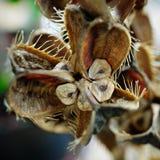 Giglio Himalayan gigante (giganteum di Cardiocrinum) Fotografie Stock