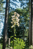 Giglio himalayano gigante Fotografia Stock Libera da Diritti
