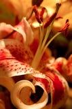 Giglio macchiato rosso Fotografie Stock