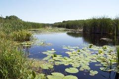 Giglio nel lago immagine stock libera da diritti