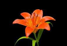 Giglio (pensylvanicum del Lilium) 32 Fotografia Stock