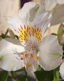 Giglio peruviano (Alstroemeria) Fotografia Stock