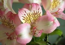 Giglio peruviano (Alstroemeria) Immagine Stock