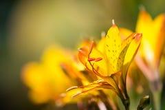 Giglio peruviano giallo Immagini Stock Libere da Diritti