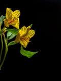 Giglio peruviano giallo con lo spazio della copia Immagini Stock