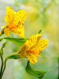 Giglio peruviano giallo con lo spazio della copia Fotografie Stock