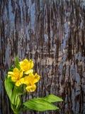 Giglio peruviano giallo con lo spazio della copia Fotografia Stock